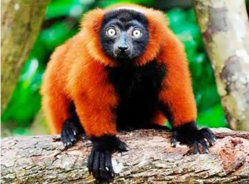 Lemurs are endangered animals