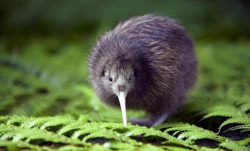 Cute Kiwi