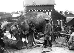German soldiers in France used an Indian elephant at the zoo to drag logs, 1915