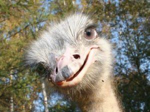 Ostrich – the biggest bird in the world