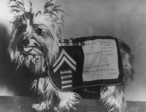 The most heroic Yorkshire Terrier Smoky