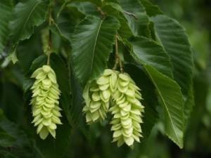 Hornbeam Tree