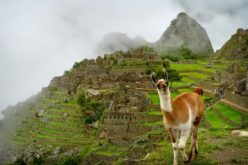 Llama was very important animal for the Incas