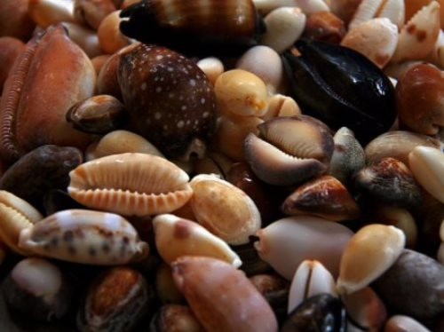 Cowrie Shells