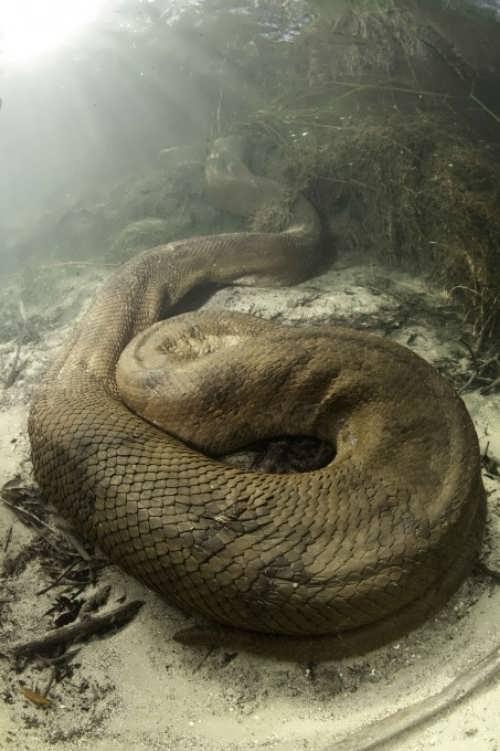 Anaconda under water. Photo by Franco Banfi