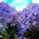 Blossoming Jacaranda trees
