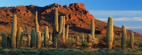 Mexican saguaro