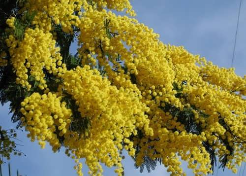 Mimosa - very delicate spring plant