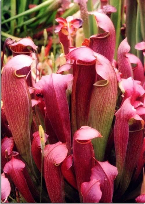 Sarracenia leucophilla