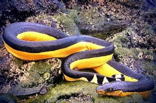 Sea snake in corals