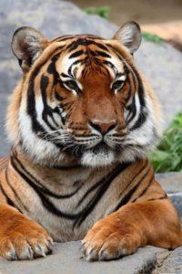 Tiger – striped big cat