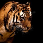 Wonderful tiger
