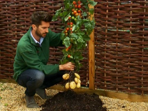 TomTato - hybrid of tomatoes and potatoes