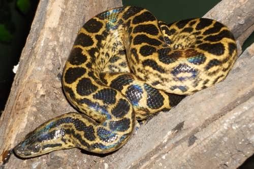 Yellow anaconda