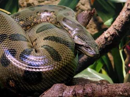 Anaconda - heaviest snake in the world