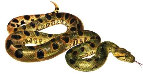 Anacondas - members of the boa constrictor family