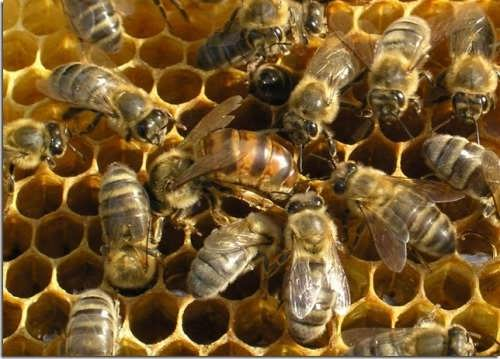 Honeybees also produce beeswax, which is used to make candles