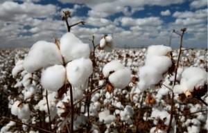 Cotton fields look like fields of snowballs