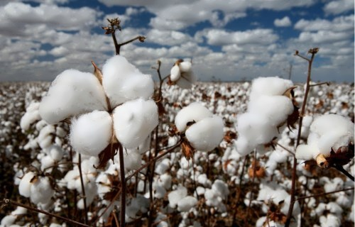 Cotton fields look like fields of snowballs