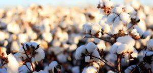 Cotton - Summer Snowballs