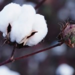 Beautiful cotton