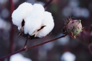 Beautiful cotton