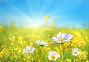 Amazing daises