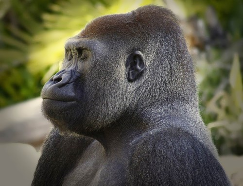 Gorilla - the largest of all primates