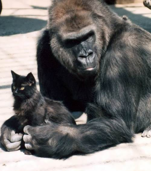 Gorilla and her fluffy friend