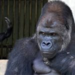 The most handsome gorilla