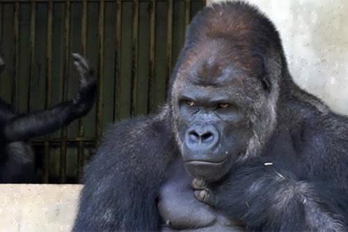 The most handsome gorilla