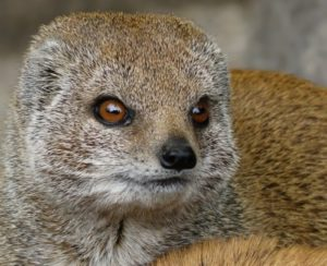 Mongoose – snakes' rival