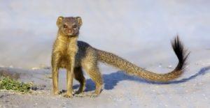 Mongooses – furred lightning