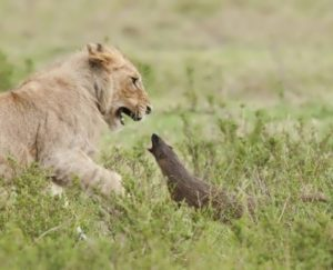 Mongoose vs lion