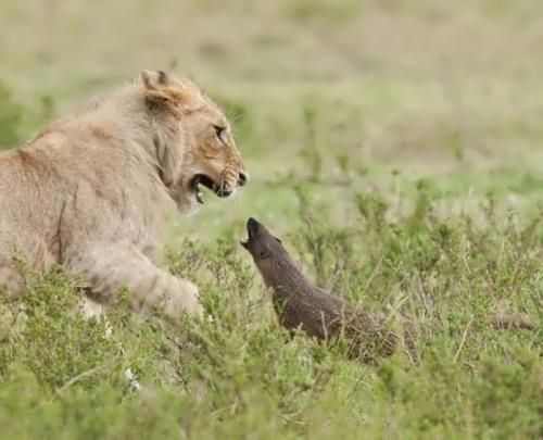 Mongoose vs lion