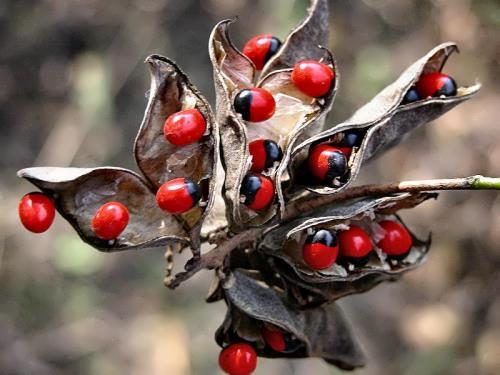 Deadly seeds of the rosary pea