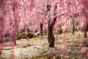Blooming Sakura, Japan