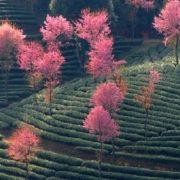 Amazing Green tea fields pink landscape