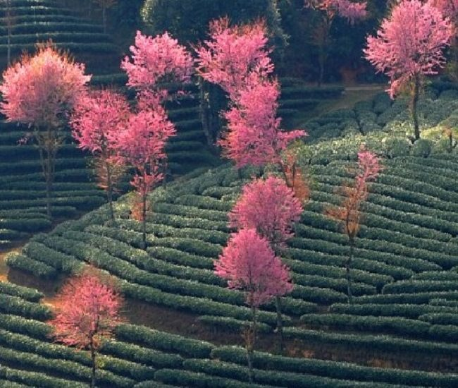 Amazing Green tea fields pink landscape