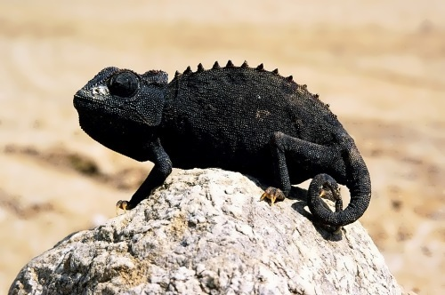 Chameleons - most unusual lizards