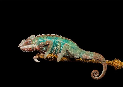 Amazing lizard