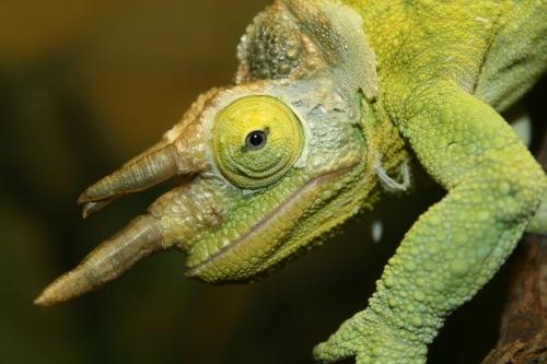 Chameleons are very slow