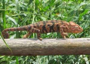 Chameleons - most unusual lizards