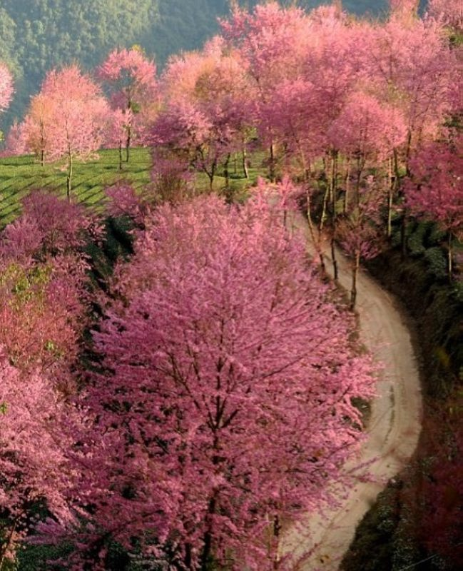 Cherry trees are planted to prevent soil erosion and provide shade for delicate tea plants