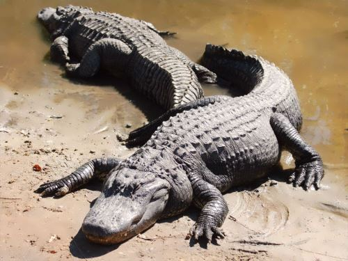 Crocodile – the largest reptile