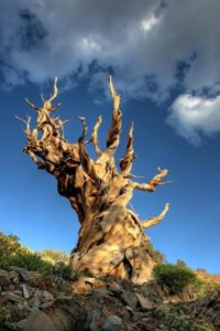 Methuselah pine
