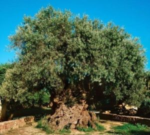 This olive tree is about 4 thousand years old and it still continues to bear fruit