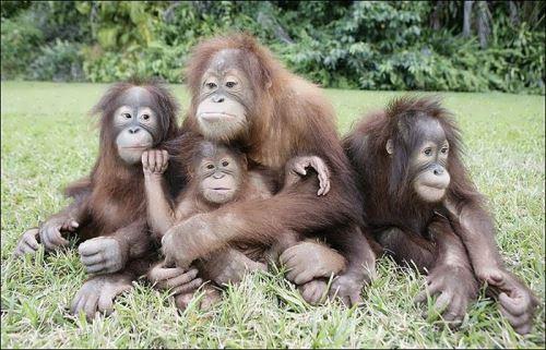 Orangutan - great ape