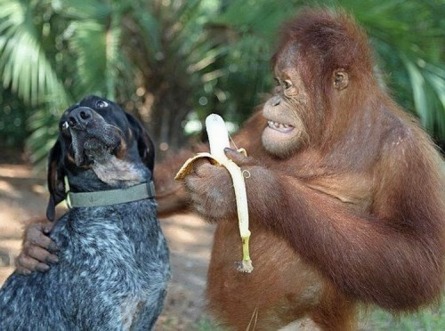 Orangutan is trying to feed the dog with banana