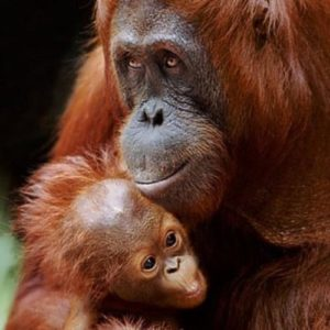 Orangutan – great ape